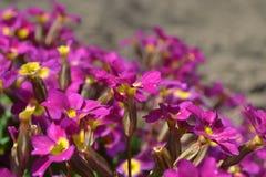 Primevère en fleur Photo libre de droits