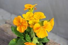 primevère Fleurs dans un bac Premières fleurs Ressort photos libres de droits