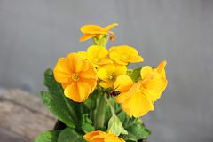 primevère Fleurs dans un bac Premières fleurs Ressort images libres de droits