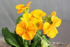 primevère Fleurs dans un bac Premières fleurs Ressort photographie stock