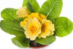 Primevère jaune dans le pot de fleurs Image libre de droits