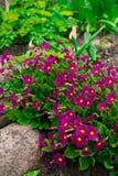 Primevère rose fleurissante de primevères de primevère vulgaris Jardin éternel rose lumineux de primevère ou de primevère au prin images libres de droits