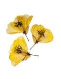 Primevère trois jaune Photo libre de droits