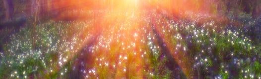 Primevères au printemps Photographie stock