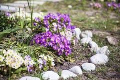 Primevères de floraison de beau ressort dans un jardin Photographie stock libre de droits