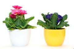 Primevères, fleur de source Images stock