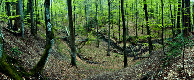 Primeval beech forest Royalty Free Stock Photos
