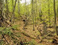 Primeval beech forest Royalty Free Stock Image
