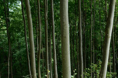 Primeval beech forest of Carpathians, Western Ukraine,unesco Royalty Free Stock Image