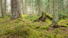 Primeval coniferous forest. Old pine and two logs lying on mossy ground, partly declined Stock Photos