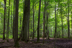 Primeval deciduous stand of Bialowieza Forest in summer Stock Photography