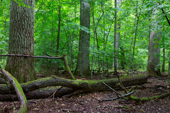 Primeval deciduous stand of natural stand in summertime Stock Image