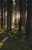 The primeval forest Royalty Free Stock Image