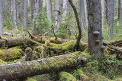 Primeval forest Stock Photo