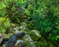 Primeval forest. Small burn flowing inside a primeval green forest. New Zealand Stock Images