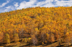 Primeval forest. Chinese grasslands of Inner Mongolia in the autumn gold of the primeval forest Stock Photography