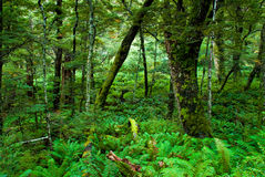 Primeval forest. On routeburn track, fiordland national park, new zealand Stock Photos