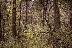 Primeval forest. Alpine forest at an altitude of over 2,000 meters Royalty Free Stock Photo