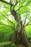 Primeval forest of Chestnut tree Stock Photo