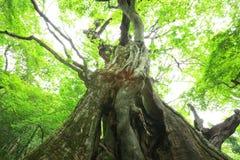 Primeval forest of Chestnut tree Stock Image