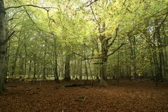 Primeval Forest on Darss Royalty Free Stock Images