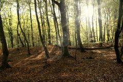 Primeval Forest on Darss Royalty Free Stock Photo