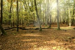 Primeval Forest on Darss Stock Photography