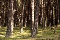 Primeval Forest on Darss Stock Image