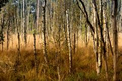 Primeval Forest on Darss Royalty Free Stock Photos