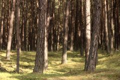 Primeval Forest on Darss Royalty Free Stock Image