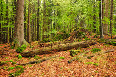 The primeval forest-HDR Stock Images