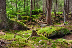The primeval forest-HDR Stock Image