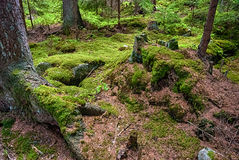 The primeval forest-HDR Royalty Free Stock Photography