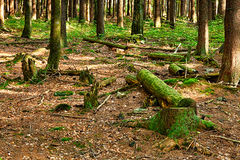 The primeval forest Stock Image