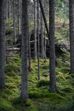 Primeval forest Royalty Free Stock Images