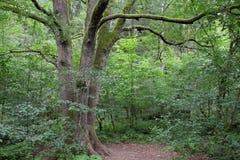 Primeval forest in Poland stock photo