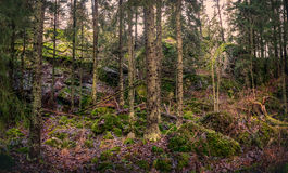 Primeval forest Stock Images