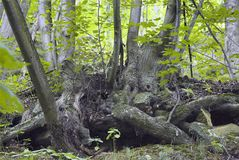 Primeval forest in South West Poland Royalty Free Stock Photos