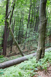 Primeval forest in South West Poland Royalty Free Stock Photo