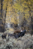 Primeval Moose. A bull moose lets out a primeval grunt during the fall mating season in Grand Teton national park.  Golden fall foliage in the background Royalty Free Stock Photos