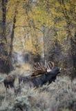 Primeval Moose Royalty Free Stock Photos