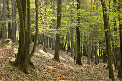 The primeval oak forest. The primeval forest with foliage on the ground Royalty Free Stock Photo