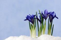 Primi fiori Immagini Stock