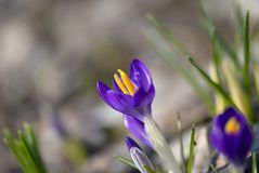 Primi fiori Immagine Stock