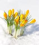 Primi fiori Fotografie Stock Libere da Diritti