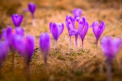Primi fiori del croco su un prato fotografia stock libera da diritti