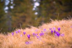 Primi fiori del croco in un'erba su un prato fotografia stock libera da diritti