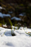 Primi fiori della molla che crescono attraverso la neve nell'ambito della luce solare Immagine Stock