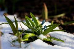 Primi fiori della molla che crescono attraverso la neve nell'ambito della luce solare Fotografie Stock Libere da Diritti