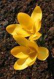 Primi fiori della sorgente Immagini Stock